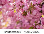 pink flowers on the branches of Japanese sakura blossomed above blury background  in spring - stock photo