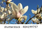 White magnolia flowers on blue sky background  - stock photo