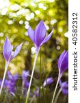 colchicum autumnale flowers with shallow depth of field - stock photo
