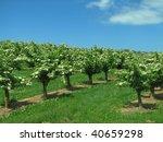 Elderberries - stock photo