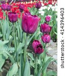Purple tulips in flowerbed - stock photo