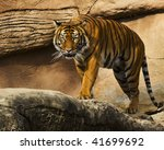 Stalking Tiger - stock photo