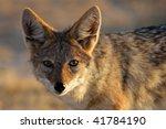 Young black-backed jackal, Etosha NP, Namibia - stock photo