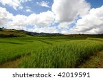Rice field with beautiful cloudy sky. - stock photo