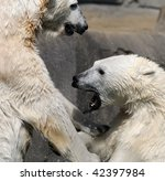 Wrestling polar bears - stock photo