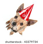 a chihuahua with a birthday hat on - stock photo
