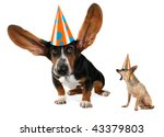 a basset hound with long flying ears and a chihuahua - stock photo