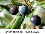 Olives on branch. - stock photo