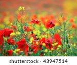 Polish poppy field - stock photo