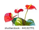 three red anthurium flowers isolated with clipping path - stock photo