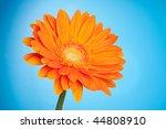 Orange gerbera flower on blue gradient background - stock photo