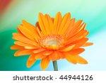 Orange gerbera flower isolated on color gradient background - stock photo
