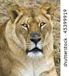 Portrait of a female Lion - stock photo