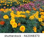 Bright summer flowerbed, marigold yellow and pink begonias flowers - stock photo