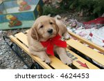 adorable golden retriever puppy on sled - stock photo