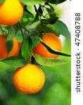 Mature oranges on tree. - stock photo