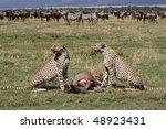 Three cheetah brothers with wildebeest, Masai Mara, Kenya, East Africa - stock photo