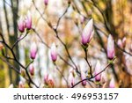 magnolia flowers close up on a blur green grass and leaves background - stock photo