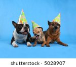 three dogs with birthday hats on - stock photo