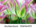 detail of gorgeous looking tulips - stock photo