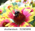 Bumblebee on the flower - stock photo