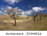 almond trees in spring - stock photo