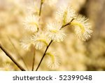 close up shot of pussy willow - stock photo