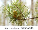 close up of pine branch - stock photo