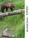 Grizzly bear walking on a log suspended over a creek bed - stock photo