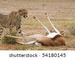 A young cheetah standing next to a dead springbok in the Kalahari desert - stock photo