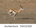 A male springbok running in a dry riverbed in the kalahari desert - stock photo