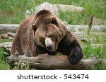 Large Grizzly Bear Tackling a Log - stock photo