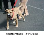 dog pulling on leash - stock photo