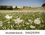 White poppies in a field of green on a sunny day - stock photo