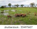 African wild dogs eating tsessebe, Botswana - stock photo