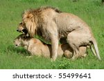 Lions mating, Okavango, Botswana - stock photo