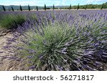 Lavdendal field in the Provence, France - stock photo