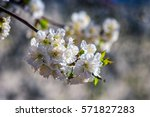 twig with white flowers of apple tree on a blurred background of a garden - stock photo