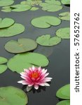 Lotus in the pond. - stock photo