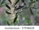 Closeup of a blossoming olive tree in early summer in Tuscany, Italy - stock photo