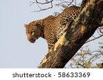 Leopard in tree, Serengeti, Tanzania - stock photo