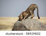 Cheetah male sniffing territorial mark, Serengeti NP, Tanzania, East Africa - stock photo
