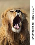 Lion yawning, Serengeti, Tanzania - stock photo