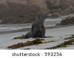 An old, one-eyed sea lion that was hanging out on the shores of Pebble Beach, CA. - stock photo