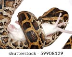 Burmese python eat rat isolated - stock photo