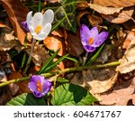 purple crocus flowers on meadow among foliage and green grass. sunny day in forest. beautiful springtime nature. top viewpoint - stock photo