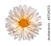 Beautiful White Dahlia Flower with Yellow Center Isolated on White Background - stock photo
