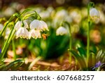 bee gathering pollen from first flowers in springtime. spring snowflake also called Leucojum on a blurred background of forest meadow in mountains. snowbell closeup. - stock photo