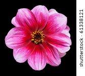 Beautiful Pink Purple Dahlia Flower Isolated on Black Background - stock photo