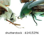 two scarab beetle isolated on white background - stock photo